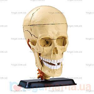 Анатомическая модель «Череп», 39 деталей, SK010, купить
