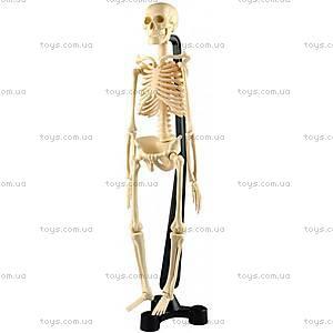 Анатомическая модель «Скелет человека», 46 см, SK046