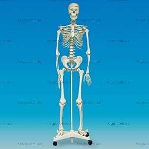 Анатомическая модель-макет на стойке «Скелет человека», SK160