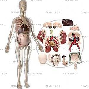 Анатомическая модель скелета «Будущая мать», 51 деталь, МК064, купить