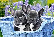 Пазлы на 1000 деталей «Французские бульдогские щенки», С-104246, отзывы