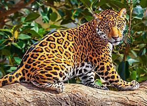 Пазл Castorland на 260 деталей «Маленький ягуар», В-27392