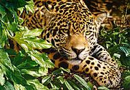 Пазл на 1000 деталей «Леопард», С-102051, фото