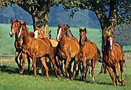 Пазл на 1500 деталей «Табун лошадей», C-150748