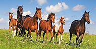 Пазл на 4000 деталей «Табун лошадей Пассо Фино», C-400034, фото