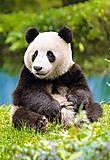 Пазл на 500 деталей «Панда», В-51519