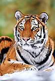 Пазл на 500 деталей «Сибирский тигр», В-51267, фото