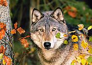 Пазл на 500 деталей «Волк», В-51663, купить