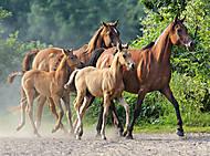 Пазл Castorland на 2000 деталей «Красивые лошади», 313, фото