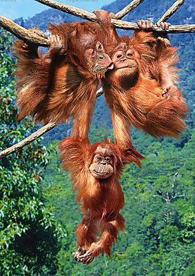Пазл Castorland на 500 деталей «Игры обезьян», В-51601