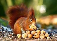 Пазлы Castorland на 180 деталей «Белка с орешками», В-018277, фото