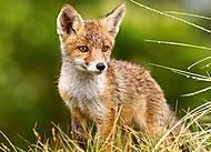 Пазлы Castorland на 260 деталей «Маленькая лиса на лугу», В-27354, фото