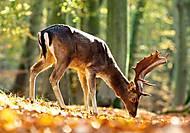 Пазлы Castorland на 500 деталей «Король леса», В-52325